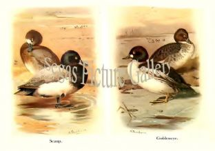 Scaup & Goldeneye